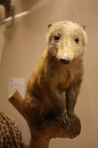 Photo of a taxidermy coati on display at bristol museum