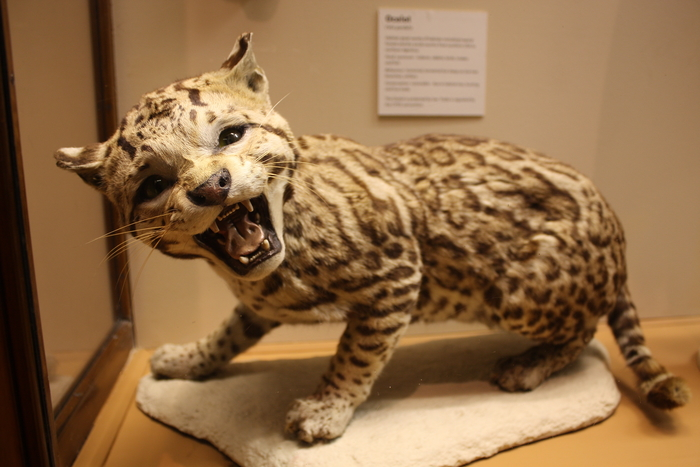 Photo of a taxidermy ocelot on display at bristol museum