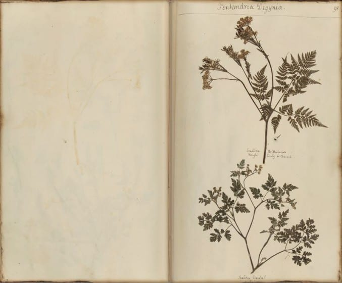 Image of a page with pressed plants in the British Broughton Herbarium book
