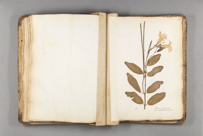 Image of a page in the Broughton Herbarium - Jamaican book