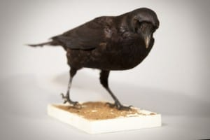 Photo of a carrion crow