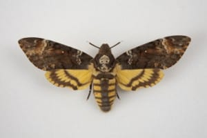 Photo of a death's head hawk moth