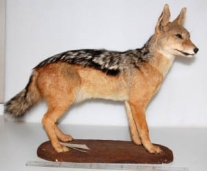 Photo of a taxidermy jackal
