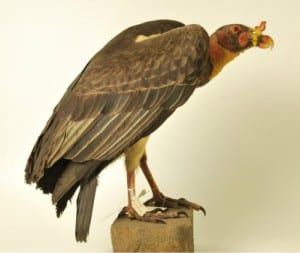 Photo of a taxidermy king vulture