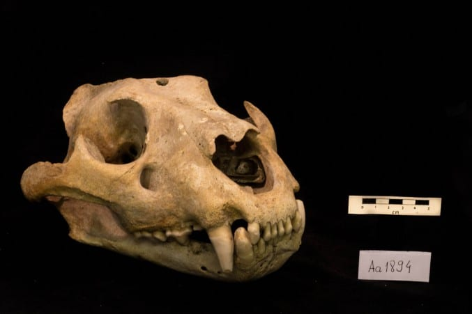 Photo of a lioness skull on a black background