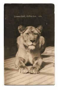 Black and white victorian photo of lioness juliet at bristol zoo gardens