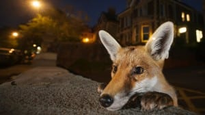 An urban fox standing up against a wall