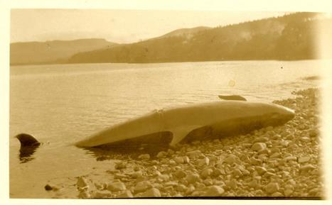 Beached whale on the shore of Dornoch Firth 1927 ©Historylinksarchive 2009_104_02