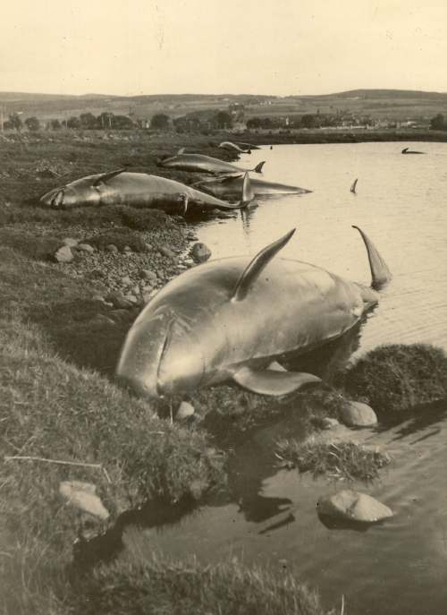 Stranded 'caaing false killer whales' of 147 washed up on the shore of Dornoch Firth 1927 2000_066 ©Historylinksarchive