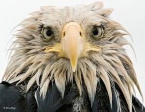 A bald eagle starring into the camera lens © Klaus Nigge