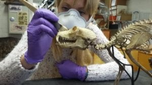 Michelle carefully cleans the lemur skeleton from any debris left by the Bristol Blitz