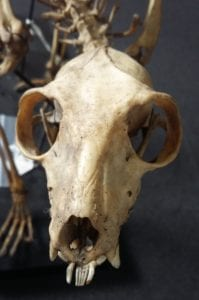 Skull of Eulemur macaco, black lemur with prominent bottom teeth for grooming