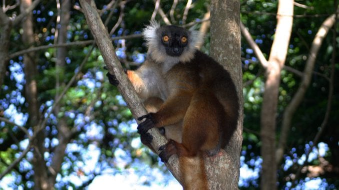 female black lemur sitting in a tree in Madagascar