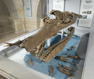 A picture showing the large skull of the Westbury Pliosaur I