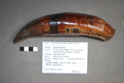 Picture of a large tooth taken from the Westbury Pliosaur II