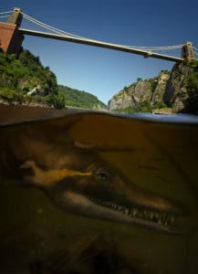 A pliosaur swimming in the Avon Gorge underneath the Clifton Suspension Bridge