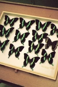 Thirteen green, black and brown butterflies mounted in a display case