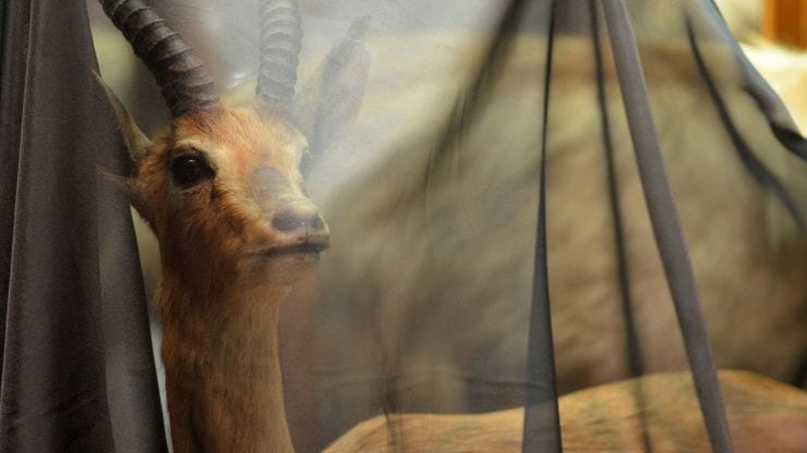 A stuffed mountain gazelle covered in a black semi opaque veil