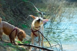 Two dogs stood in a pond, one is shaking itself dry sending jets of water everywhere