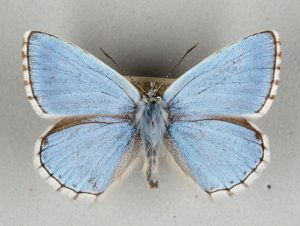 Butterfly with light blue wings. The very edges of the wings are lined with a chocolate brown then white.
