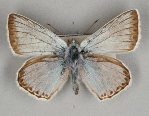 Butterfly with ashy grey-blue wings. The edges of the wings are lined with a brown colour