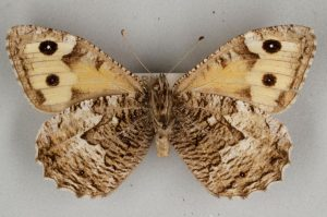 Butterfly with cream and brown markings on its wings