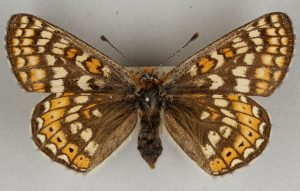 Butterfly with brown wings with cream and orange marks