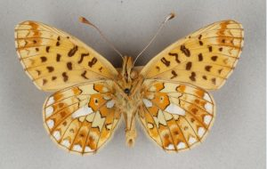 Butterfly with a yellowy-beige coloured wings with white, orange and brown marks.