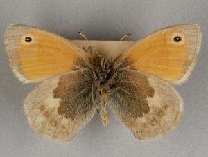 Butterfly with mustard yellow and brown wings