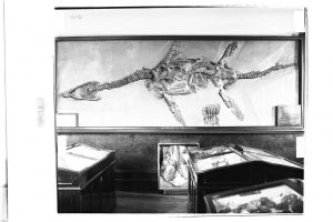 The back portion of the skull of a large ichthyosaur seen below the wall mounted fossil Atychodracon, destroyed in the bombing raid of 1940. Image taken from the museum's second home, now the restaurant Browns.