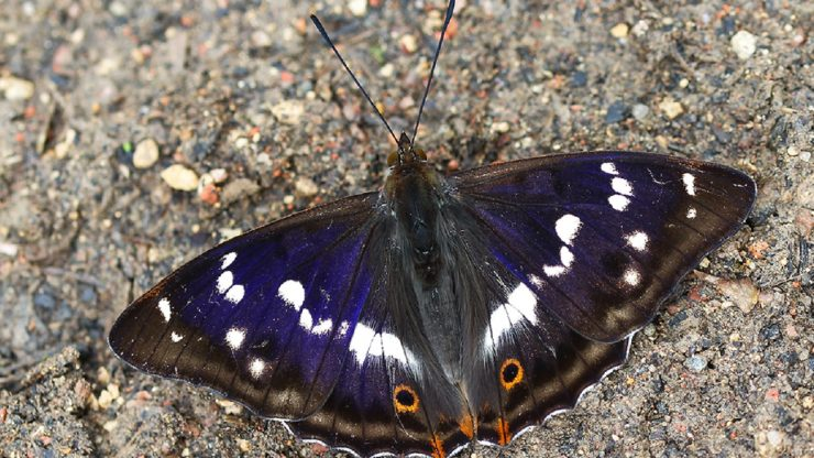 Winter Lecture: Unravelling the mysteries of the Purple Emperor butterfly